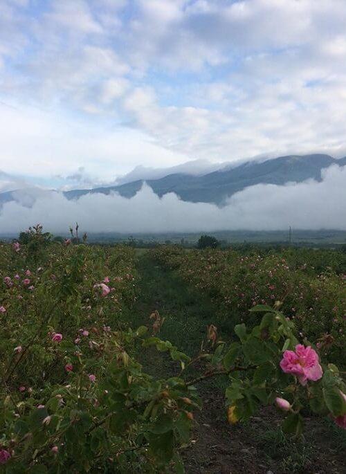 Rose Damascena Ecomaat Bulgaria